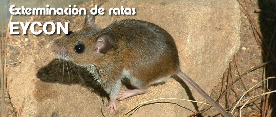 Como eliminar ratones en casa cmo eliminar ratas de la - Como eliminar ratas en casa ...